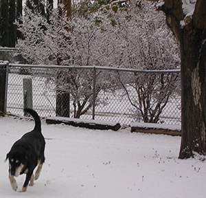 Keoki coming in from the snowy yard