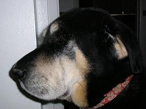 Keoki is A Handsome Dog