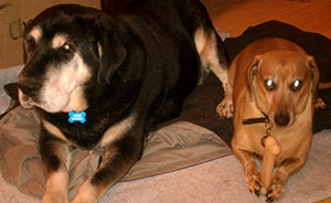 Keoki Doesn't Mind His Brother Woody Has A Nice Chew Bone.